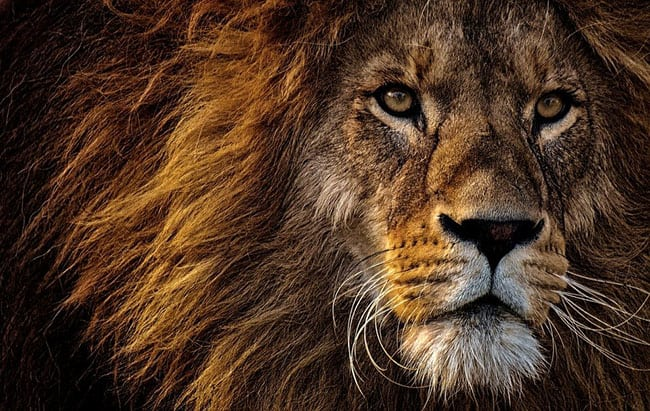 Ted 165 Lion